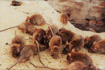 gryzonie, szczury